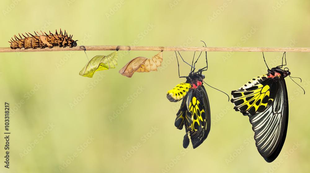 Fototapeta Life cycle of common birdwing butterfly