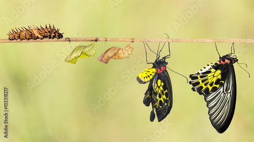 Poster Vlinder Life cycle of common birdwing butterfly