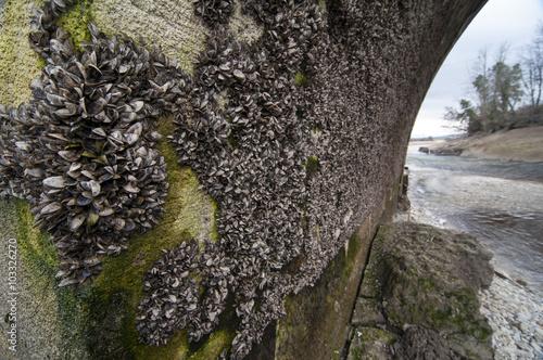 Valokuva  Mejillón cebra, Dreissena polymorpha