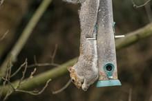 Grey Squirrel Hanging Upside D...