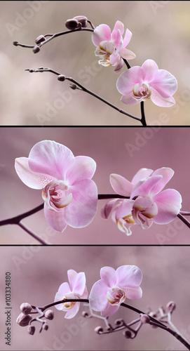 Fototapeta Storczyki różowe obraz