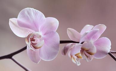 Fototapeta Storczyki - Orchidea