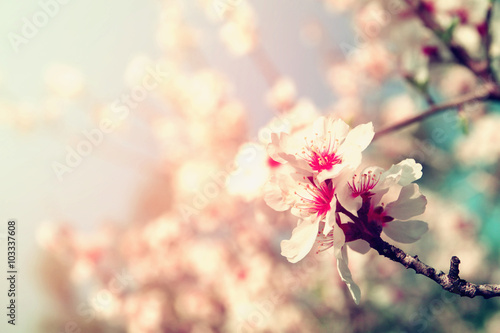 abstract dreamy and blurred image of spring white cherry blossoms tree Poster