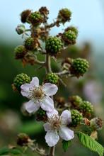 Bramble (Rubus Fruticosus). Fl...