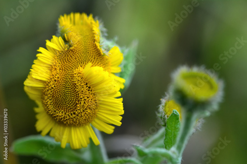 Valokuva  Common fleabane (Pulicaria dysenterica) deformed flower