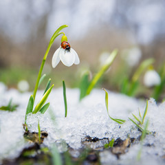Fototapeta Ladybug on the snowdrop with melted snow