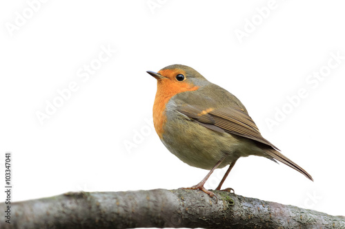 Photo  bird Robin sitting on tree isolated on white background