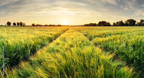Canvas Prints Honey Wheat field landscape with path in the sunset time