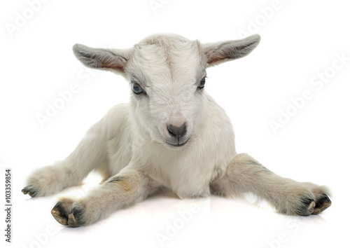 Photo white young goat