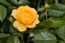 Yellow Rose With Raindrops