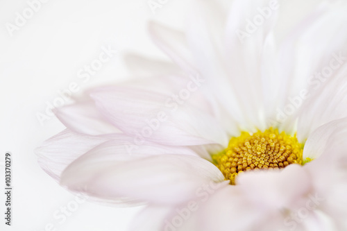 Foto op Canvas Madeliefjes Daisy Flower White Yellow Daisies Floral Flowers Isolated