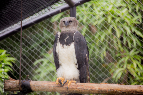 american harpy eagle buy this stock photo and explore similar