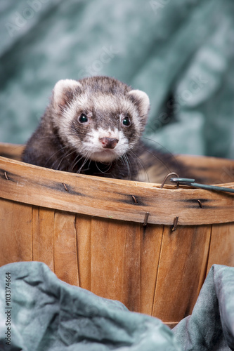 Valokuva  Ferret pops out from basket.