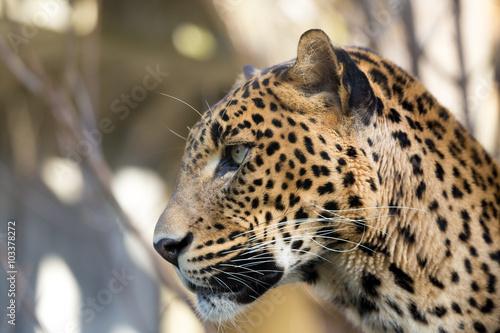 Poster Luipaard portrait of Persian leopard