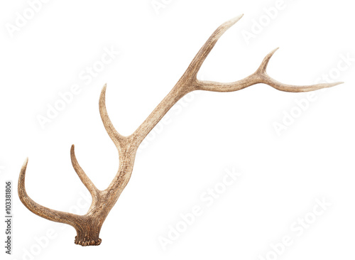 Obraz na plátně Large antler isolated on white background
