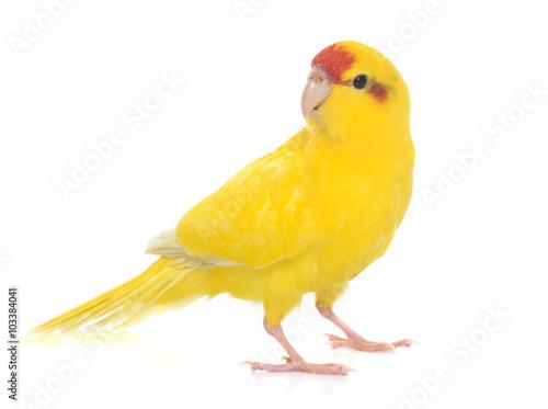 Canvastavla Red-fronted Kakariki parakeet