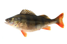 Perch  Female