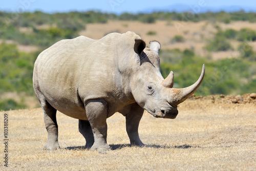 Poster Rhino African white rhino