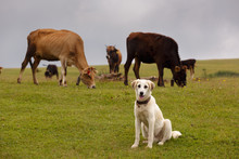 A Livestock Guardian Dog And The Herd Of Cow
