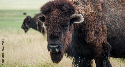 Foto op Canvas Bison Buffaloes