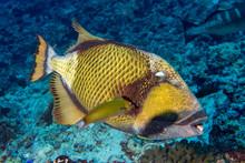 Titan Trigger Fish In Maldives