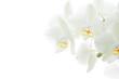 canvas print picture - Weisse Orchideen vor hellem Hintergrund