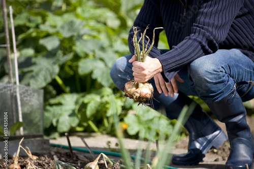 A young man pulling up onions on an allotment Canvas Print