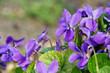 Veilchen - Viola odorata in spring