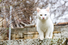 White Cat With Different Colored Eyes