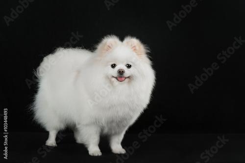 White Pomeranian Dog Buy This Stock Photo And Explore Similar