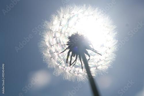 Fototapety, obrazy: flower ,одуванчик