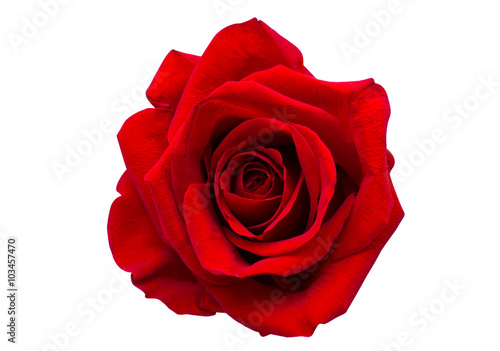 Ingelijste posters Roses red rose isolated
