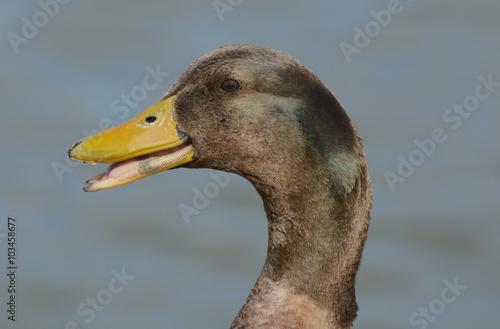 Fotografie, Obraz  Portrait of mixed breed duck quacking