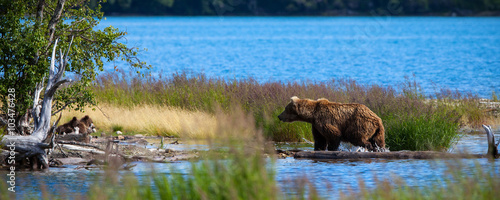Obraz na plátne A brown bear sow returns to her cubs on the shore after fishing in Brooks River,
