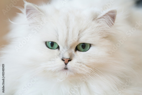 Fotografering  White Persian cats