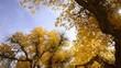 Autumn yellow woods, Populus euphratica,