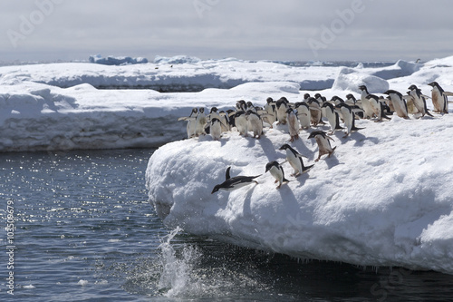 Jumping Adélie Penguins, Antarctica.