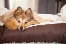 Sheltie Hund Schaut Aus Dem Körbchen / Sheltie Dog Lie In Dog Basket