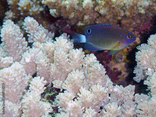 Photo Stands Coral reefs Speckled Damsel (Pomacentrus bankanensis) swimming in corals