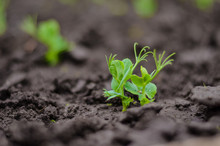 Sprouted Pea Sprouts In The Ga...