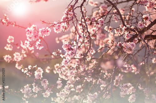 blossom almond tree and sunset