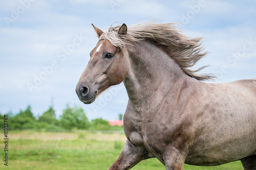 Portrait of beautiful running lithuanian heavy horse Canvas Print