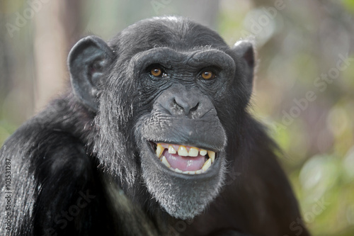 Canvas Print Male chimpanzee