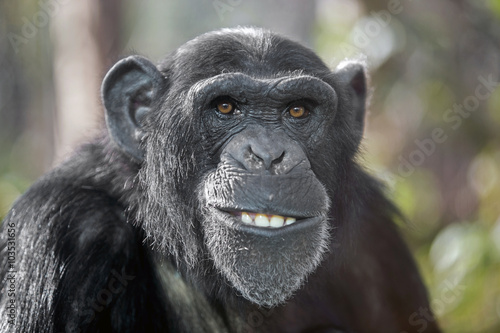 Photo sur Toile Singe Male chimpanzee