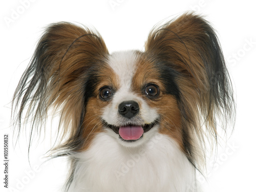 Papiers peints Papillon papillon dog in studio