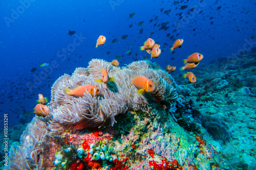 CLOWNFISH FRENESEE / On this dive spot I found over 100's of this beautiful specie Tablou Canvas