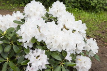 Flowers White Rhododendron In ...