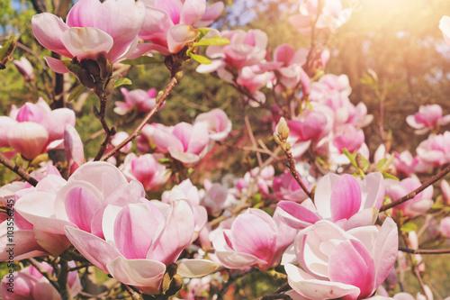 Foto op Plexiglas Magnolia magnolia tree blossom