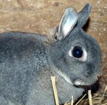 Dwarf Rabbit On The Straw