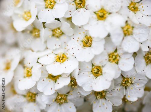 Białe kwiaty Spiraea